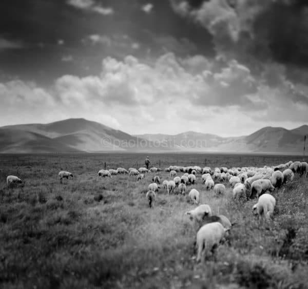 pecore a Castelluccio Norcia Umbria